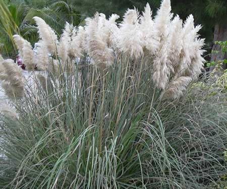 What kind of ornamental grass is this which has seeds that can travel up to 20 miles in the trade winds?