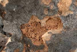 Coconut rhinoceros beetle damage
