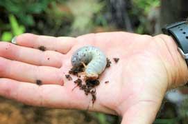 Coconut rhinoceros beetle larvae